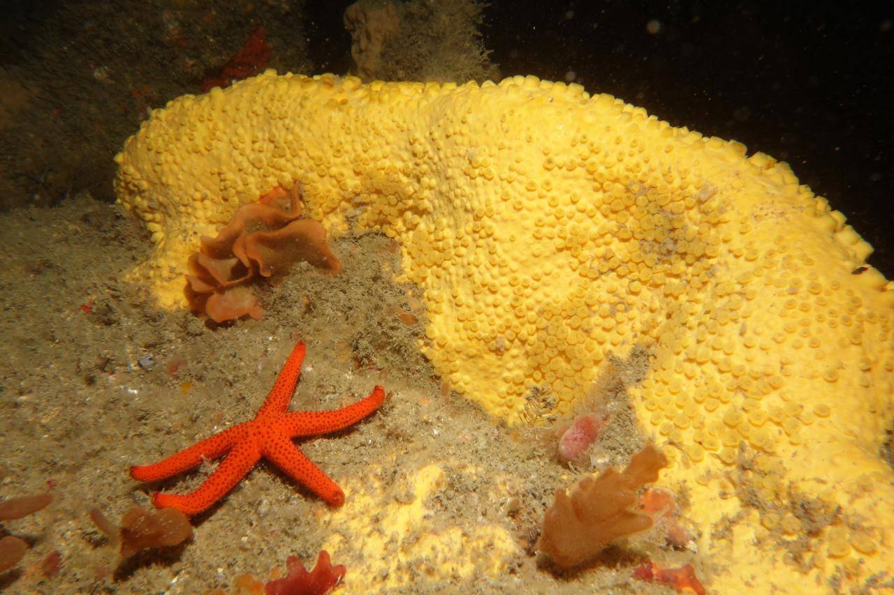 Clione jaune et bryozoaires